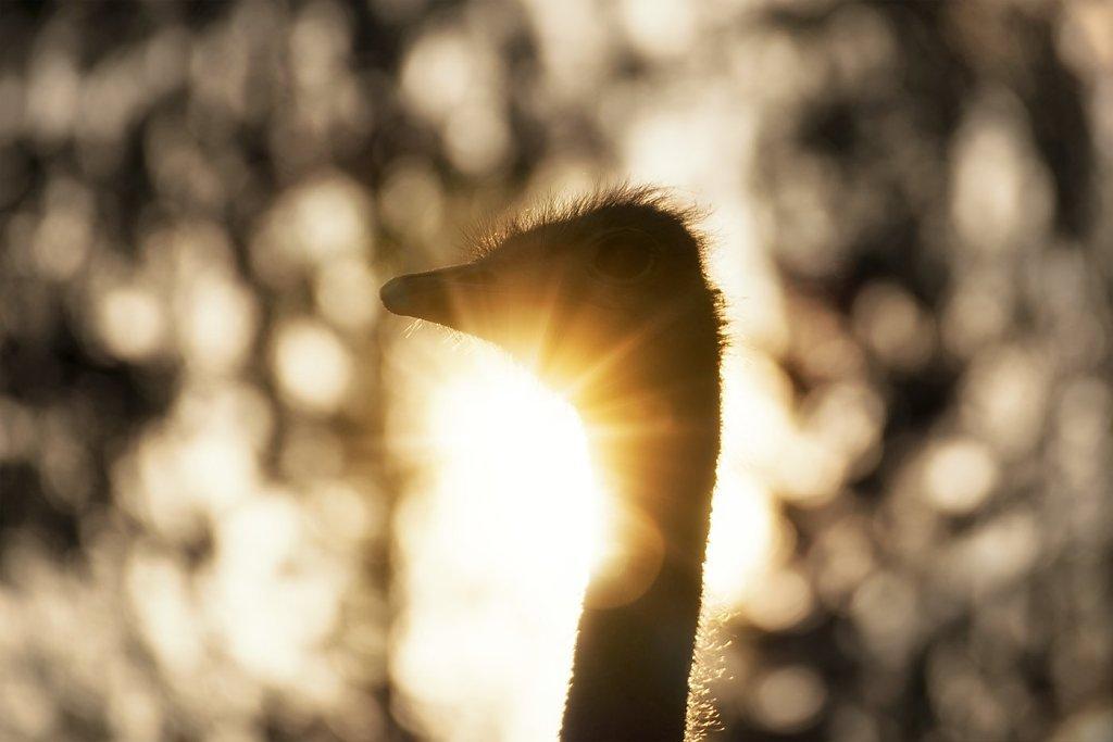 Ostrich-200808-003.jpg