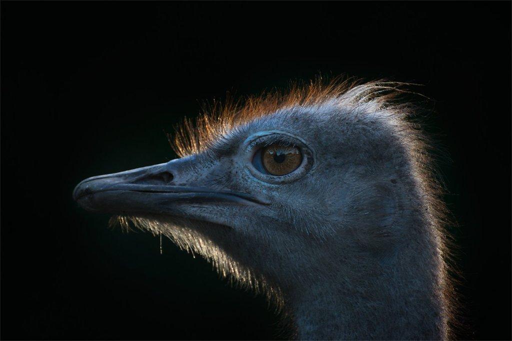 Ostrich-200808-011.jpg